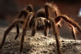 tarantula approaching