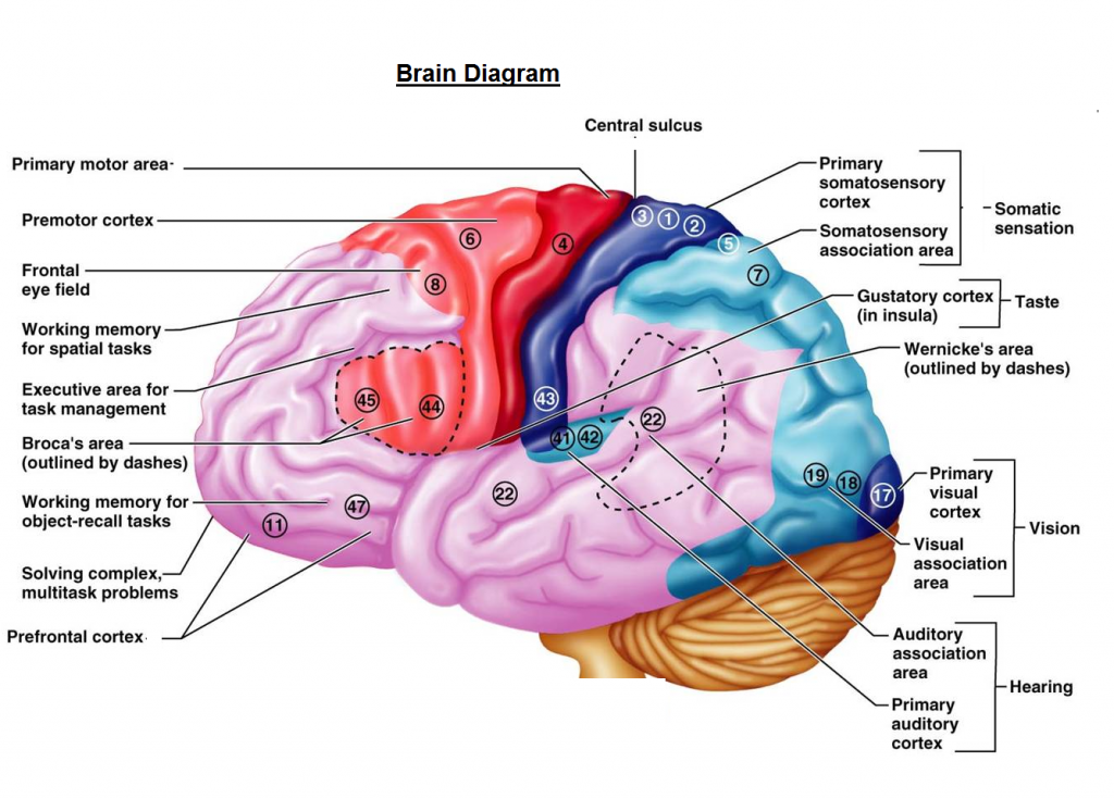 Diagram Of The Human Brain Parts8 Fictionfans Book Reviews