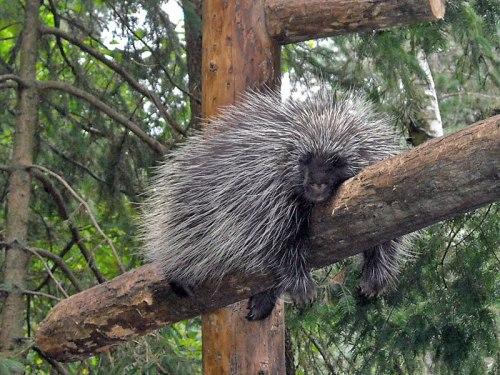 sleeping porcupine