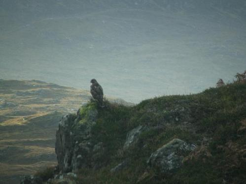 Buzzard at Aigas Photo: rutlandjan via tripadvisor.co.uk