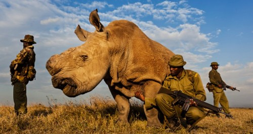 The last remianing male Northern white rhino in the world being prtoected by armed guards. His horn has been removed to make him less attractive to poachers.