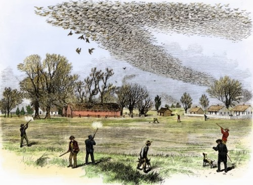 Hunting and loss of habitat caused the passenger pigeon to go extinct over 100 years ago. Now some people plan to resurrect them...