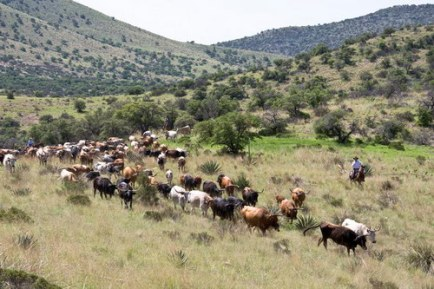 arizona-cattle