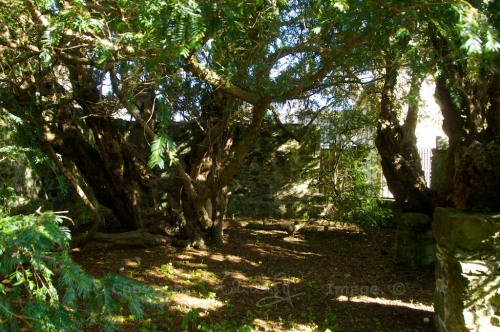 The Fortingall Yew