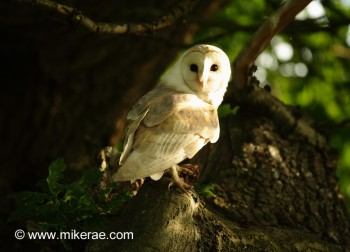 suffolk-barn-owl