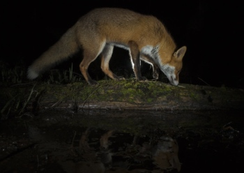 suffolk-fox